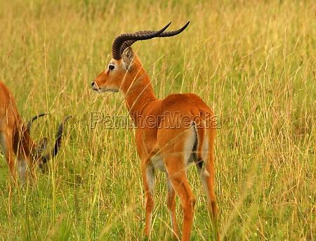 ugandan kob antelope profile