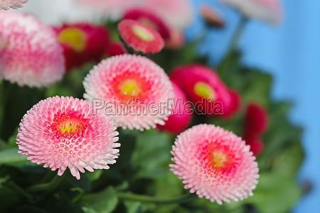 pink daisy bellies