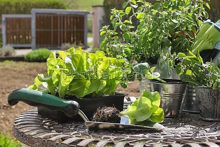 salad seedlings salad seedlings