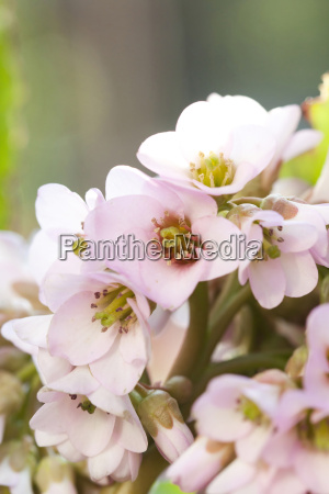 beautiful pink spring blossom