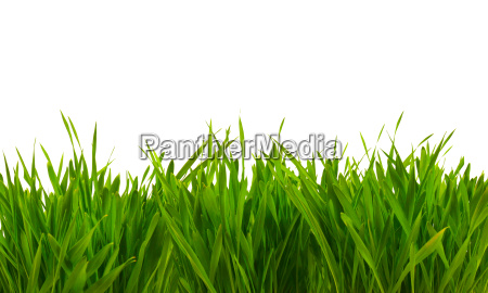 fresh spring green grass isolated on