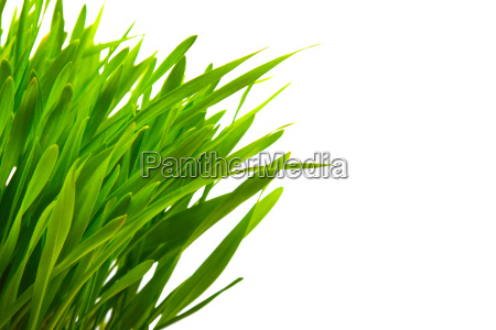 close up of green grass isolated