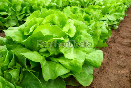 salad plants before harvest