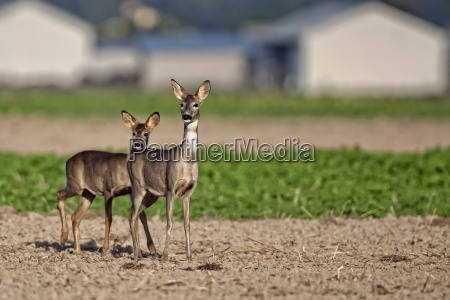 roe deer with young in a