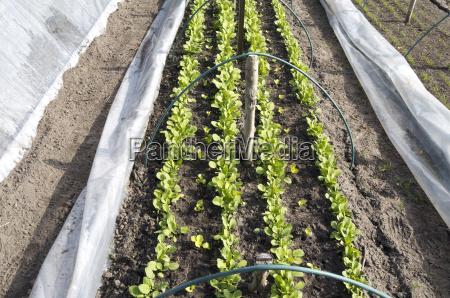 radieschenreihen und salat in einem zuchttunnel