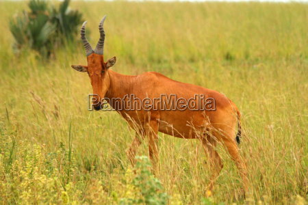 hartebeest in murchsion falls national park