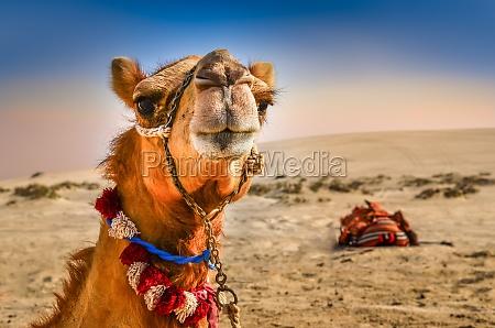 detail des kamelkopf mit lustigen expresion
