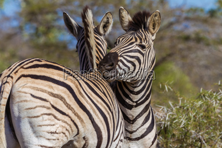 zebras affections animal wildlife
