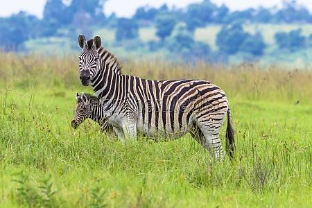 zebras wildtiere