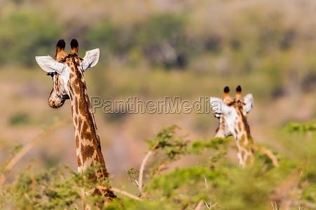 giraffen wildtiere