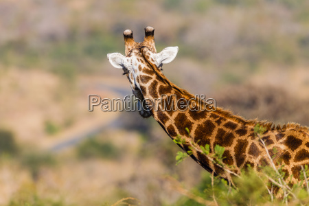 giraffe wildlife animal
