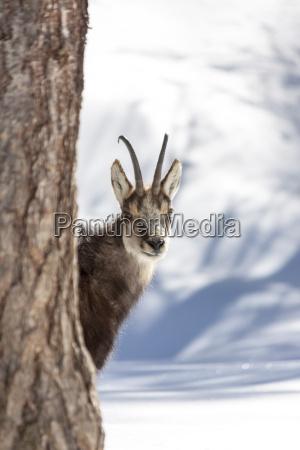 chamois im nationalpark aosta italien