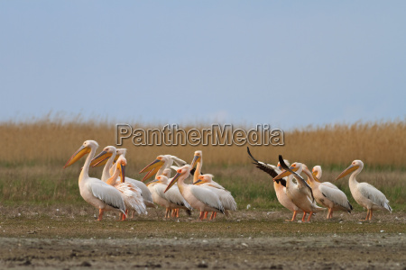 vogel donau pelikan rumaenien delta wandernd