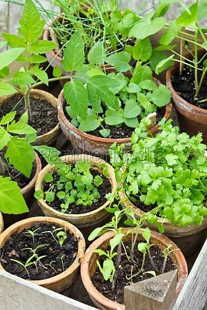 transplant prick out spring tomato plants