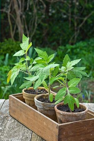 tomato plants flower pots pot wooden
