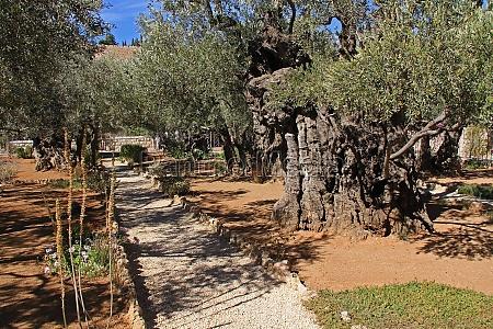 garten von gethsemane in israel
