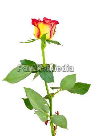 red yellow rose flower on white