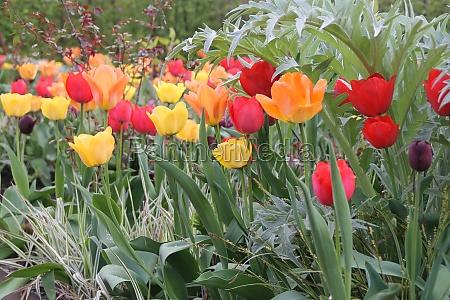 ein tulpenbeet
