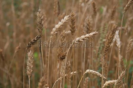 brot brotlaib landwirtschaft ackerbau feld korn