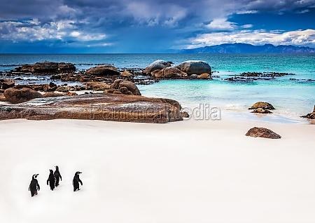 wilde suedafrikanischen pinguine