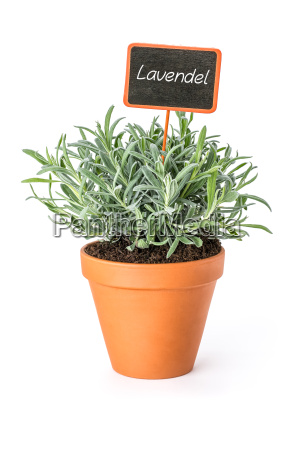 lavender in clay pot with plant