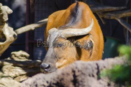 bulle horn stier