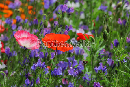 meadow flowers with corn flower poppy