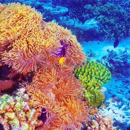 clownfische im korallenroten garten