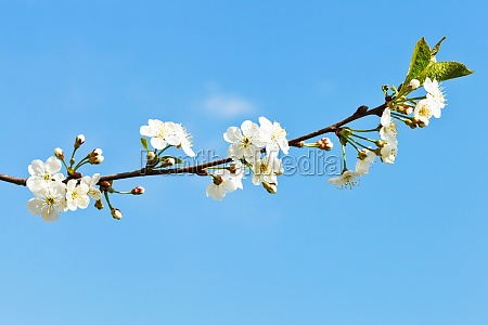 sprig of cherry blossoms on blue