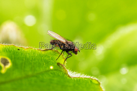 common housefly fly