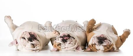 drei schlafenden hunde