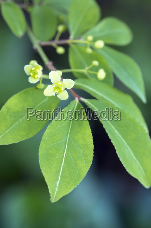 flowering of a cork spindle euonymus