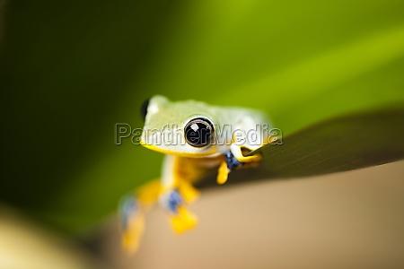tier haustier amphibie indonesien kuscheltier frosch