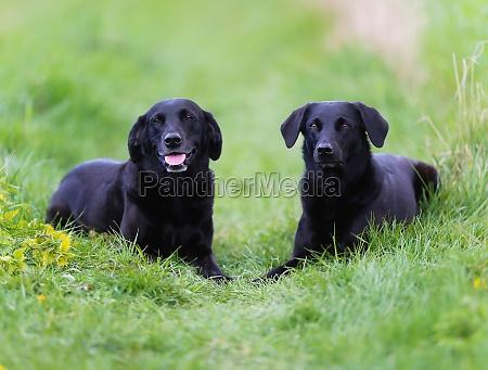 schwarzes labradors
