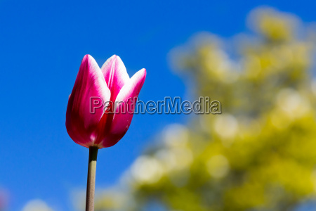 purple und weisser tulpenkopf