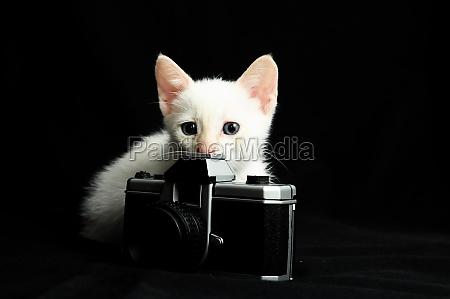 weisse junge baby katze