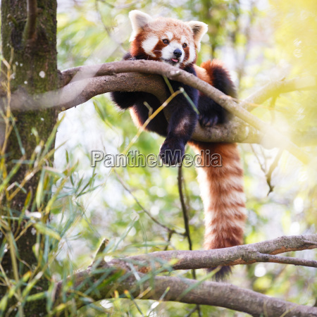 red panda ailurus fulgens lit
