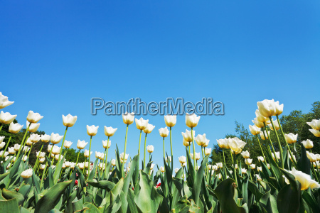 decorative white tulips on flower bed