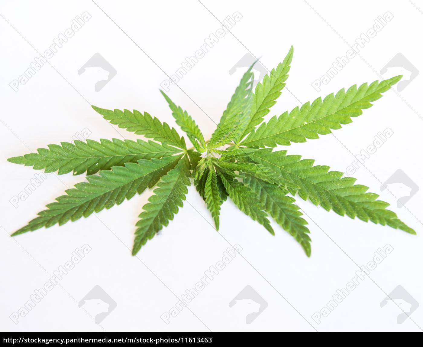 sprig, von, cannabis - 11613463