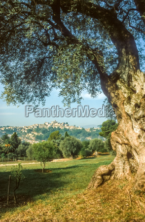 old olive tree in cagnes sur