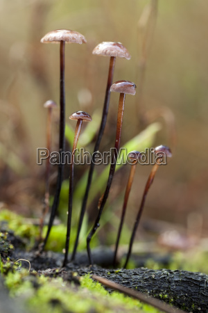 marasmius alliaceus