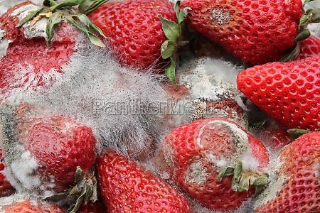 verfaulte erdbeeren