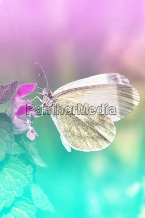 white butterfly pieris brassicae