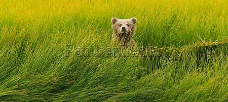 brown bear cub lake clark nationalpark