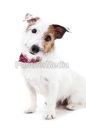 puppy jack russel terrier hund auf