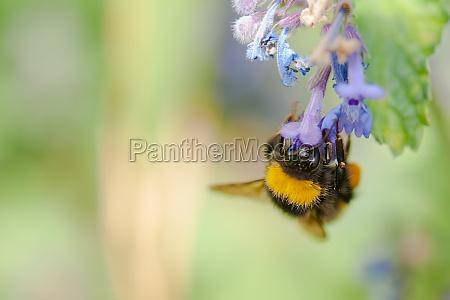 biene beim nektarsammeln - stock photo - #11700322