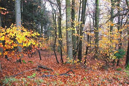 mischwald mit farbigen buchenblaettern