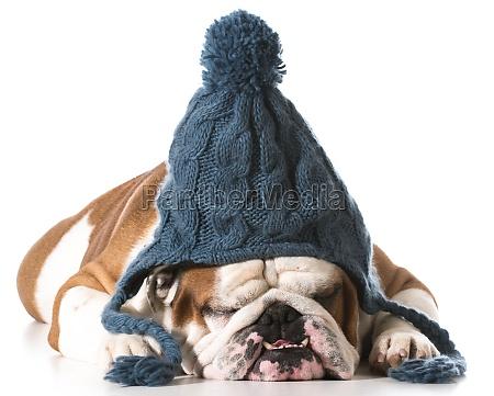 hund traegt wintermuetze