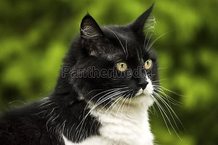schwarz weisse katze
