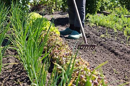 gardener vegetable garden raked rake gardening